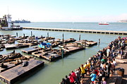 California Sea Lions Photos - San Francisco Pier 39 Sea Lions 5D26109 by Wingsdomain Art and Photography
