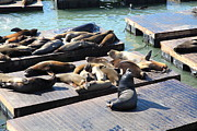 Elephant Seals Metal Prints - San Francisco Pier 39 Sea Lions 5D26113 Metal Print by Wingsdomain Art and Photography