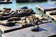 Wingsdomain Art and Photography - San Francisco Pier 39 Sea Lions 5D26113