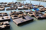 Wingsdomain Art and Photography - San Francisco Pier 39 Sea Lions 5D26115