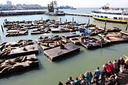 California Sea Lions Photos - San Francisco Pier 39 Sea Lions 5D26116 by Wingsdomain Art and Photography