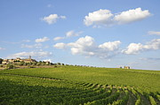 Chianti Vines Prints - San Gusme vineyards Print by Sami Sarkis