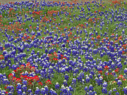 Indian Paintbrush Prints - Sand Bluebonnet and Indian Paintbrush Print by Tim Fitzharris