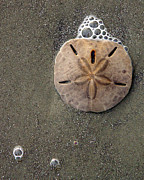 Tom Romeo Photo Posters - Sand Dollar Poster by Tom Romeo