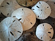 Nautical Print Drawings - Sand Dollars by Cole Black