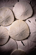 Ocean Creatures Photos - Sand Dollars  by Garry Gay