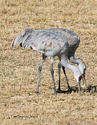 Tom Janca - Sand Hill Cranes Eat...