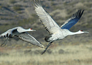 Sand Hill Photo Posters - Sand Hill Cranes Poster by Keith Marsh