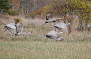 Hill Pyrography Prints - Sand Hill Cranes  Print by Tom Spencer