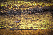 Sea Birds Prints - Sand Piper Print by Marvin Spates