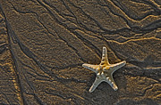 Shell Texture Posters - Sand Prints and Starfish  Poster by Susan Candelario
