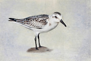 Sea Birds Posters - Sanderling Poster by Bill  Wakeley
