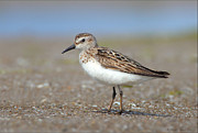 Daniel Behm Metal Prints - Sanderling Metal Print by Daniel Behm