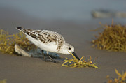 Feeding Birds Posters - Sanderling Feeding Poster by Tom Vezo