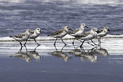 Tim Moore - Sanderling Reflections