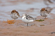 Paul Scoullar - Sanderling roost