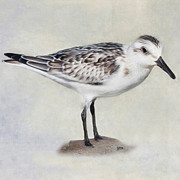 Sea Birds Posters - Sanderling Square Poster by Bill  Wakeley
