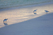 Sea Birds Prints - Sanderlings At Dusk I  Print by Steven Ainsworth