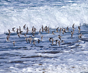 Tim Moore Prints - Sanderlings in the Surf Print by Tim Moore
