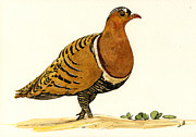 Nature Study Painting Posters - Sandgrouse Poster by Juan  Bosco