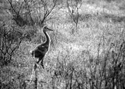 Sandhill Crane Framed Prints - Sandhill Chick in the Marsh - Black and White Framed Print by Carol Groenen