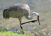 Sandhill Cranes Photos - Sandhill Crane Balancing on One Leg by Sabrina L Ryan