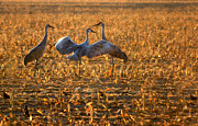 Flocks Prints - Sandhill Crane Dance Print by Robert Bales