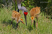 Florida Nature Photography Originals - Sandhill Crane Family feeding by Barbara Bowen