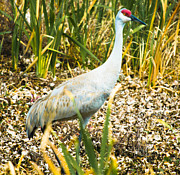 Gordon H Rohrbaugh Jr - Sandhill Crane