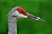 Crane Migration Prints - Sandhill Crane Print by Jeff S PhotoArt