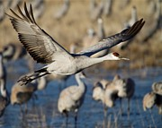 Crane Photos - Sandhill Crane Lift Off by Sabrina L Ryan