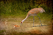 Feeding Photographs Prints - Sandhill Crane Mother and Baby Print by Peggy Collins