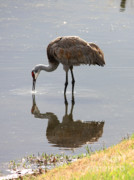Sandhill Crane Posters - Sandhill Crane on Sparkling Pond Poster by Carol Groenen