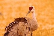 Cranes Photo Prints - Sandhill Crane Posing Print by Jeff  Swan