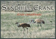 Kae Cheatham - Sandhill Crane Poster