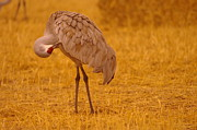 Cranes Photo Prints - Sandhill Crane Preening Itself Print by Jeff  Swan