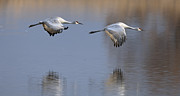 Sand Hill Photo Posters - SandHill Crane returning Poster by Gary Langley
