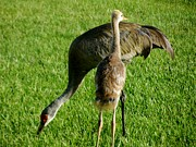 Sandhill Cranes Photos - sandhill crane with chick II by Zulfiya Stromberg
