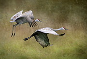 Cranes Framed Prints - Sandhill Cranes 2 Framed Print by Angie Vogel