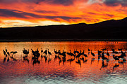 Cranes Prints - Sandhill Cranes at Sunset Print by Clarence Holmes
