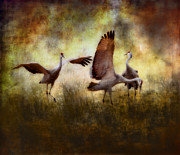 Ellen Lacey Prints - Sandhill Cranes  Print by Ellen Lacey
