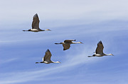 Crane Migration Posters - Sandhill Cranes Flying in Formation Poster by Konrad Wothe