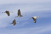 Crane Migration Framed Prints - Sandhill Cranes Grus Canadensis Flying Framed Print by Konrad Wothe