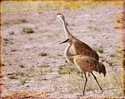 Kae Cheatham - Sandhill Cranes
