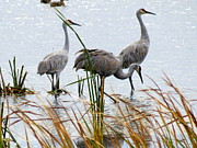 Bong Metal Prints - Sandhill Cranes Metal Print by Kay Novy