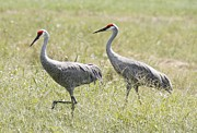 Lisa Williams Framed Prints - Sandhill Cranes Framed Print by Lisa Williams