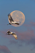 Tennessee Metal Prints - Sandhill Cranes Passing The Moon In The Morning Metal Print by Steven Llorca