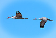 Tim Moore Metal Prints - Sandhill Cranes Metal Print by Tim Moore