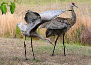 Cranes Prints - Sandhill Stretch Print by Carol Groenen