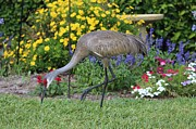 Cranes In Florida Framed Prints - Sandhill Visits the Garden Framed Print by Carol Groenen